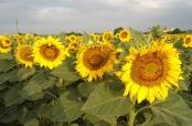 Fotovijest: Belomanastirska polja i njive