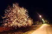 Fotovijest: Višnja u cvatu noću